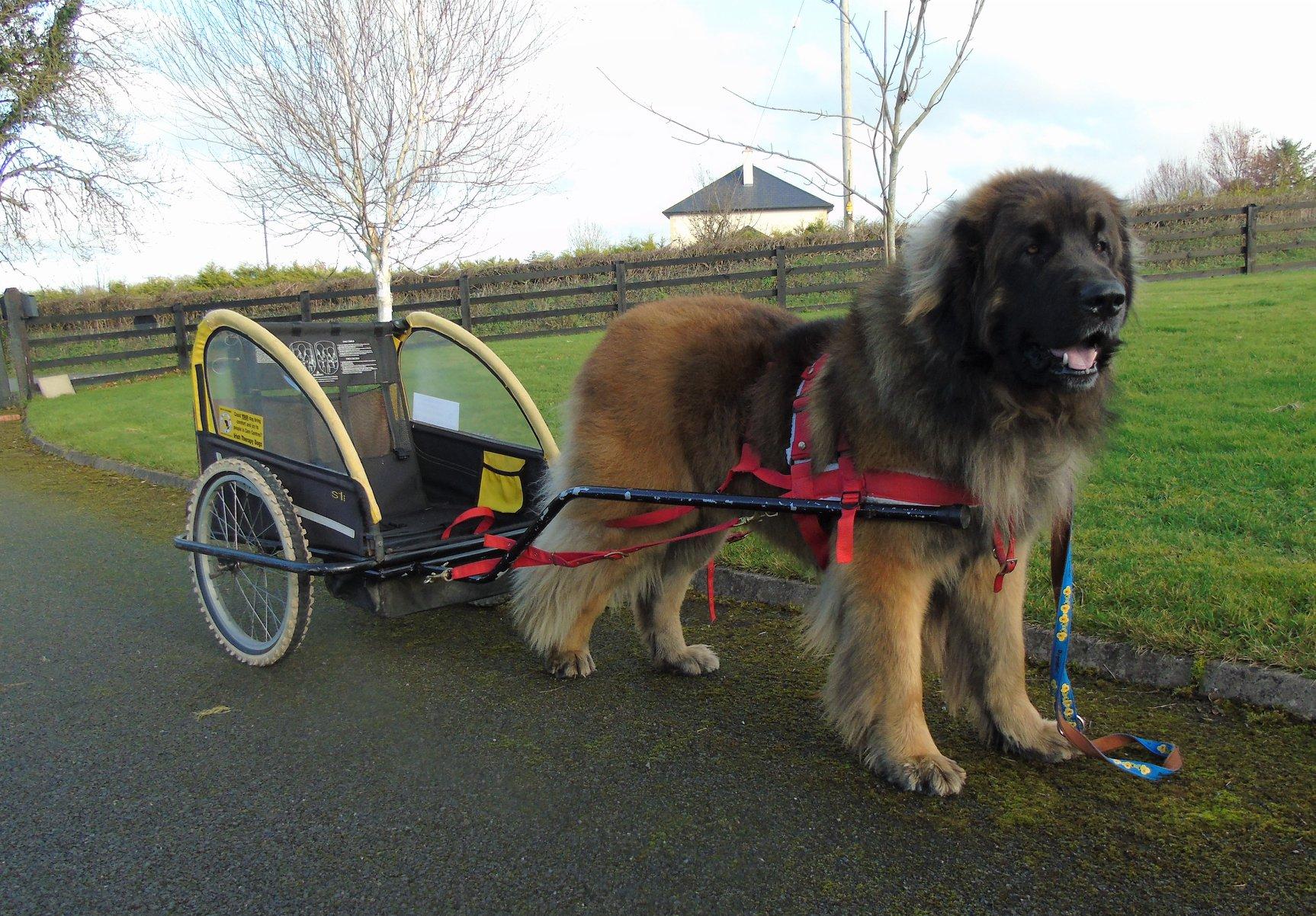 Baloo , practicing his carting