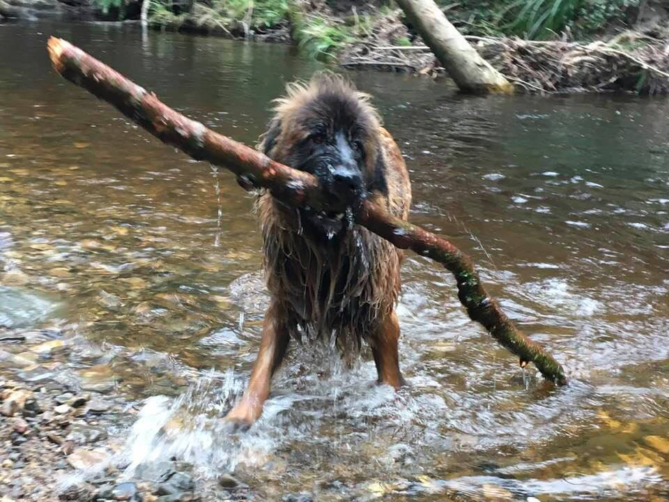 ralfie bringing his stick home