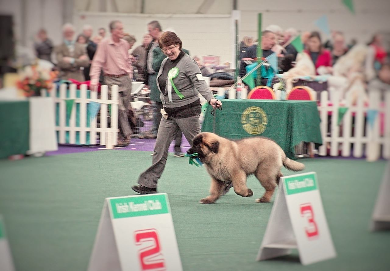 Kobo with his 3rd best pup in show rosette