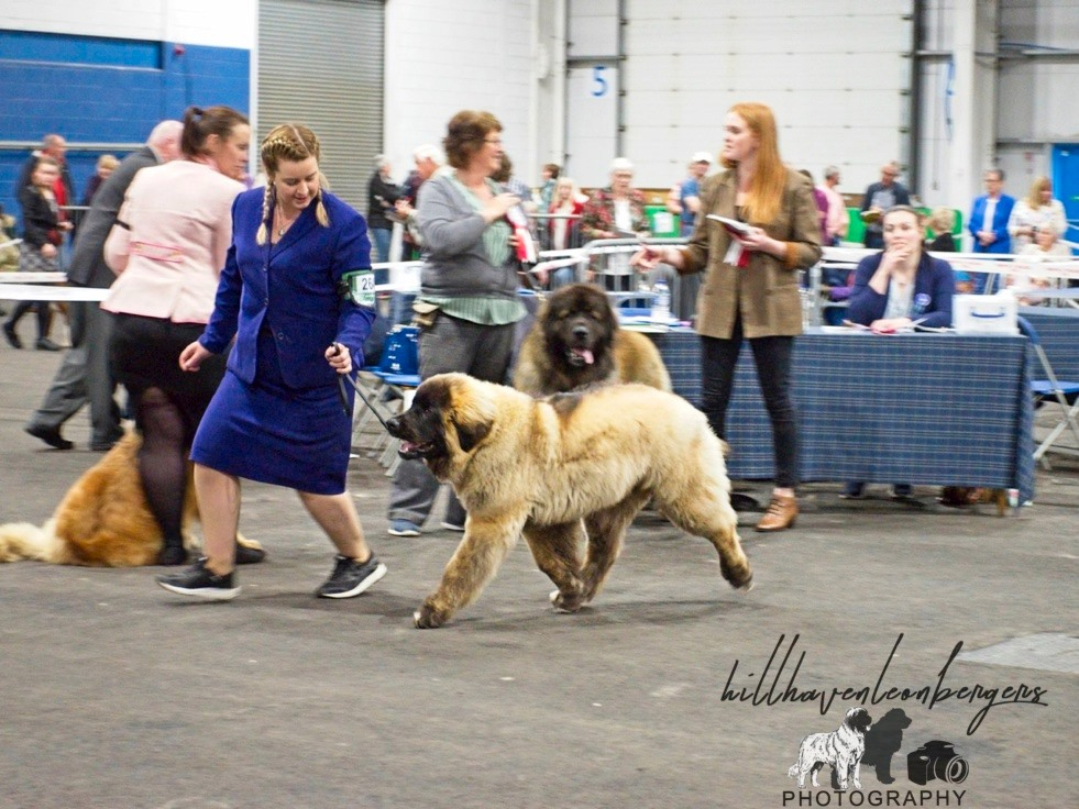 Kobo striding out to win Best male puppy SKC